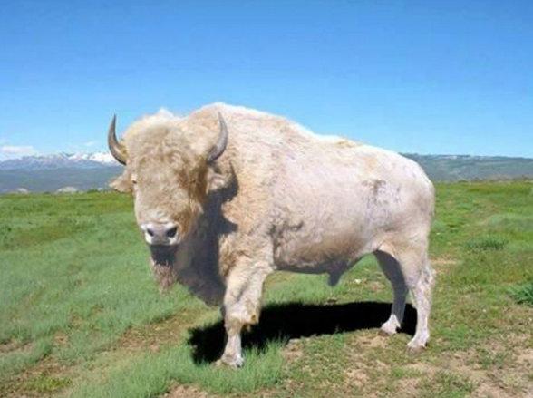 letourvoicesecho-nodapl-whitebuffalo