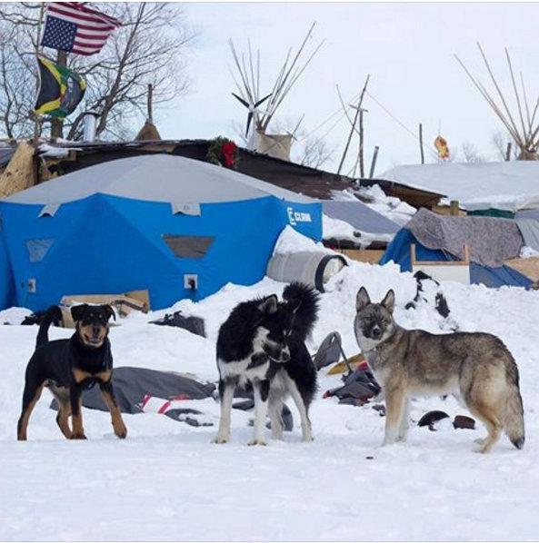 letourvoicesecho-nodapl-standingrock-dogs