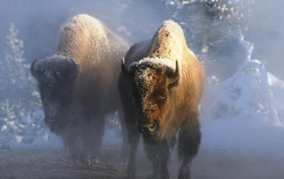 letourvoicesecho-ocetioyate-standingrock-buffalo-americanbison-1